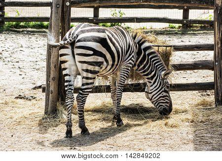 Mountain zebra - Equus zebra hartmannae feeding in captivity. Animal scene. Rear view.