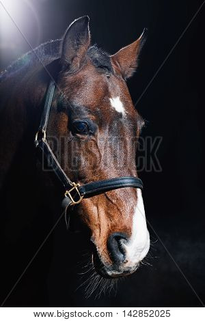 Beautiful bay horse portrait on dark background