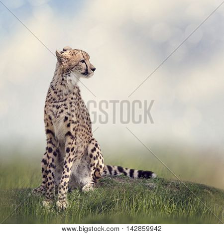 Cheetah sitting on a hill and looking away