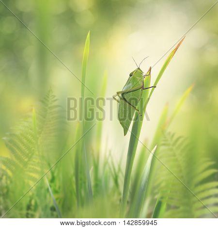 Green Leaf Grasshopper on a plant