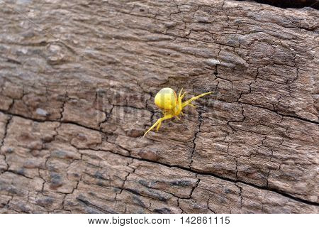Goldenrod crab spider Misumena vatia on wood. Selective focus.