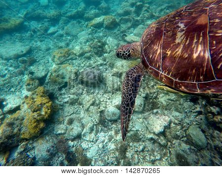 Green sea turtle above yellow coral reef and sea bottom. Lovely sea turtle closeup. Green turtle swimming in the sea. Exotic animal underwater. Blue lagoon wild life. Philippines snorkeling spot - Apo