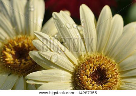 Cream Gerber Daisy