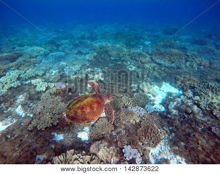 Green sea turtle above the coral reef and sea bottom. Big sea turtle closeup. Green turtle swimming in the sea. Exotic animal underwater. Blue lagoon wild life. Philippines snorkeling spot - Apo