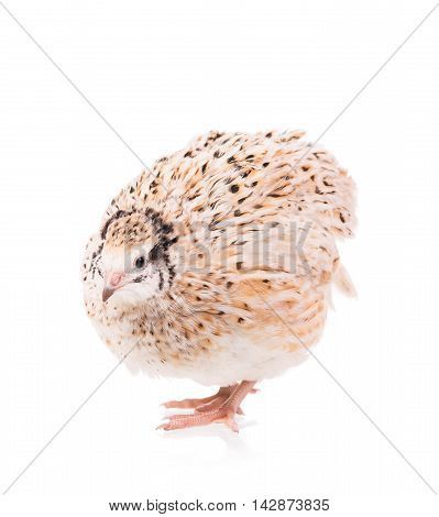 Cute adult quail isolated over white background