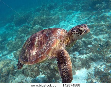 Green sea turtle above the coral reef and sea bottom. Sea turtle face closeup. Green turtle swimming in the sea. Exotic animal underwater. Blue lagoon wild life. Philippines snorkeling spot - Apo