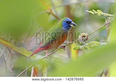 Pin-tailed Parrotfinch Erythrura prasina Birds of Thailand