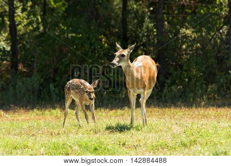 White-tailed Deer doe and fawn in a sunny pasture against dark woods
