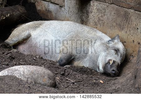 An adult boar sleeping in the dirt