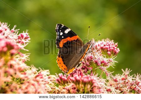 The butterfly of Vanessa atalanta drinks flower nectar