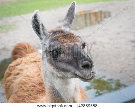 close up of cute lama head in the zoo background