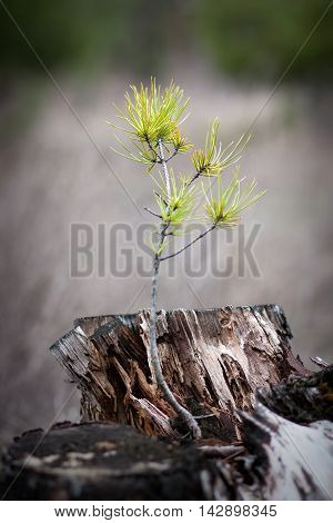 Young sprout of a pine that has grown on rotten old stump.