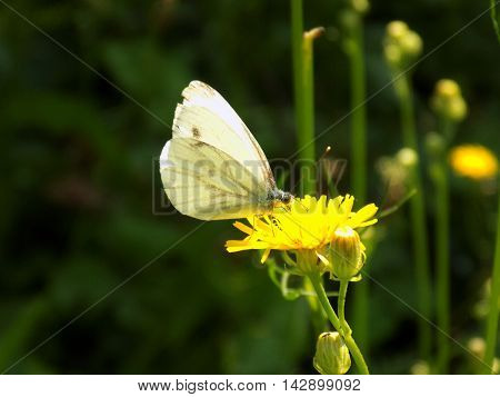 White butterfly on dandelion in wild nature during spring