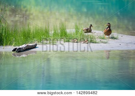cute ducks with baby at blue lake with grass and wood at coast