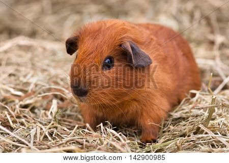 young guinea pig sitting on the hay