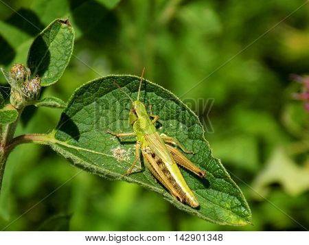 Grasshopper on leaf on meadow in wild nature