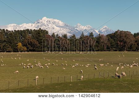 flock of merino sheep grazing in Southern Alps, New Zealand
