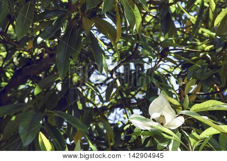 Magnolia grandiflora, species is a disjunct distribution, with a main centre in east and southeast Asia.