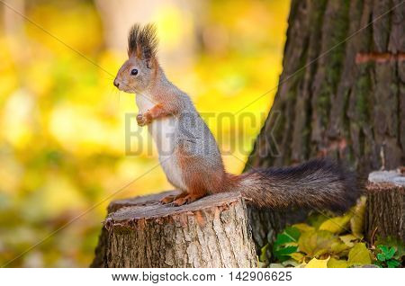 Cute squirrel sitting on stump in the autumn park in St Petersburg
