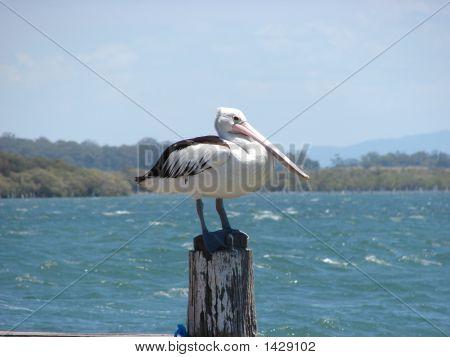 A Lone Pelican