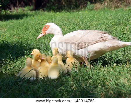 Silent duck (Cairina moschata) leads the ducklings.