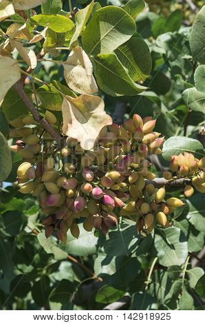 greek ripe pistachios on a green branch of a tree