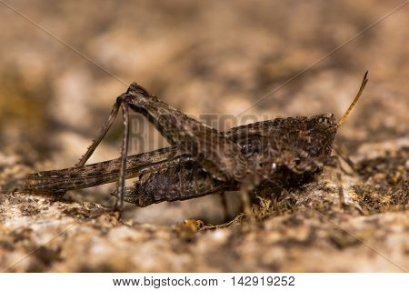 Slender groundhopper (Tetrix subulata) adult. Grasshopper-like insect in the order Orthoptera with wings extending beyond abdomen