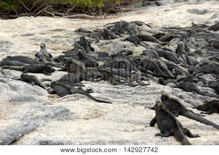 Marine iguanas warming up on rocks on Fernandina Island, Galapagos