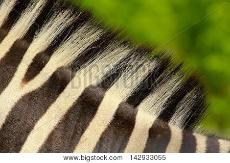 A view of a rump of a zebra