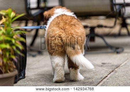 Saint Bernard puppy on a leash on a patio