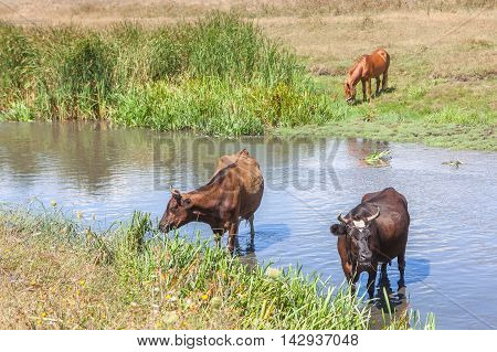rural scene with two cows and brown horse on the riverside