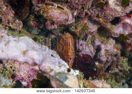Red Frog fish in coral reef under the sea