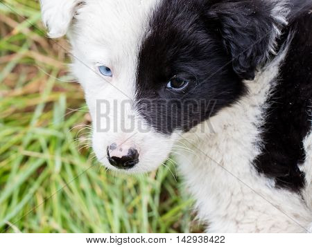 Border Collie Puppy On A Farm