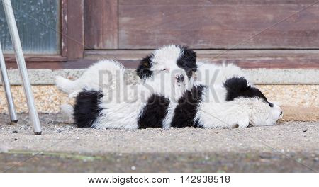 Border Collie Puppies Sleeping On A Farm