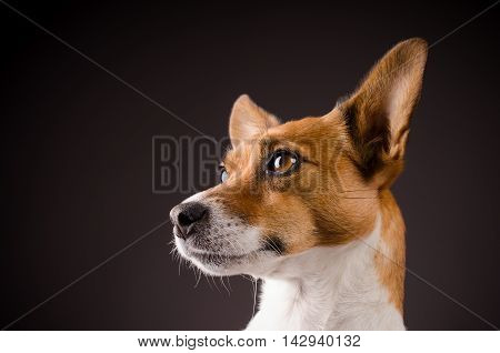 Studio shot of a Jack Russell Terrier