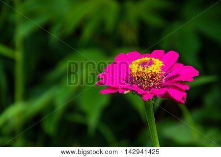 Closeup on zinnia flower Beautiful on zinnia in the outdoor nature in rainy season backgruong