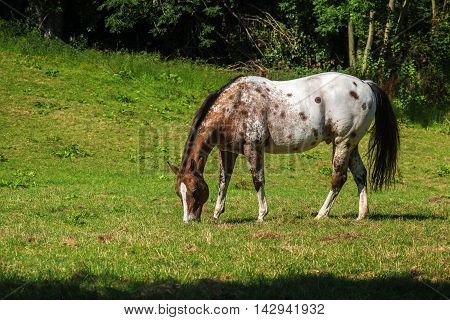 spotted appaloosa horse in white and brown grazes on the green pasture copy space