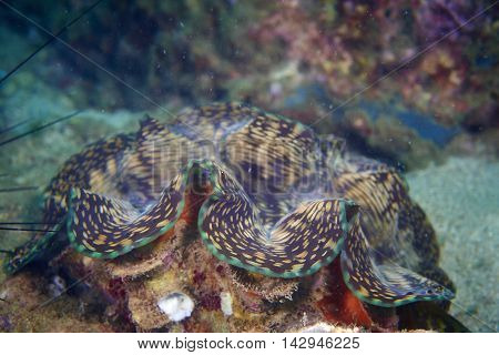 Squamosa clam in the tropical coral reef