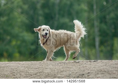 Retriever In Pond