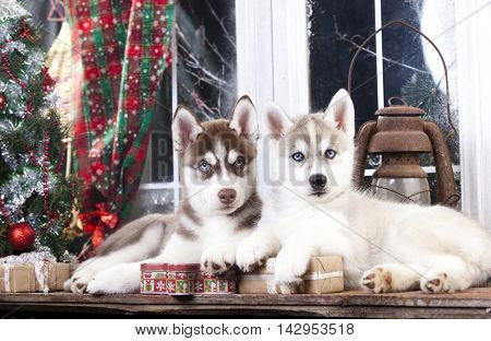 Husky puppies and Christmas decorations