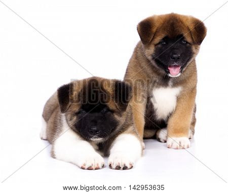 American Akita puppies on a white background