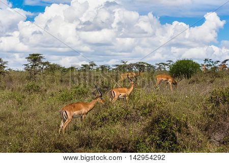 Impala antelopes (Aepyceros melampus) grazing in savanna. Kenya
