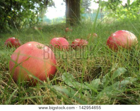 Fallen riped apples  in the grass, summer gardening