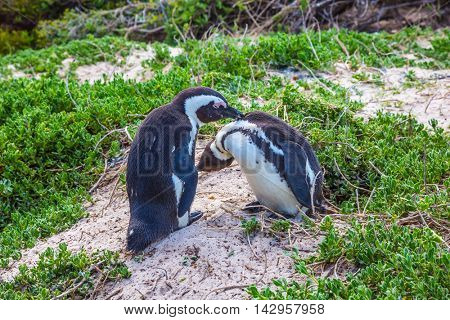 Married couple penguins. Boulders Penguin Colony.  Black-white penguins on the beach of Atlantic Ocean. The concept of ecotourism