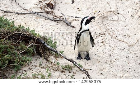 A South African Penguin at the Boulders Beach in Simon's Town on the False Bay, South Africa