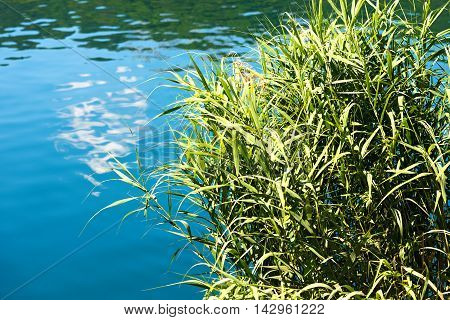 Detail of a green reeds in the blue and green water (lake) in summer. Levico lake trentino alto adige Italy