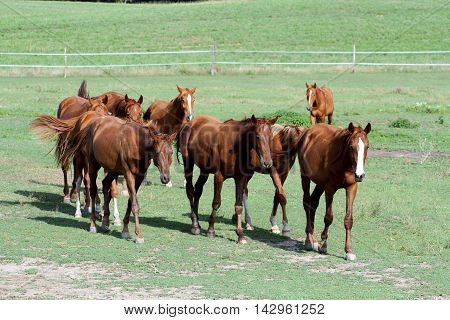 The herd of chestnut horses grazing on green meadow against electric fence