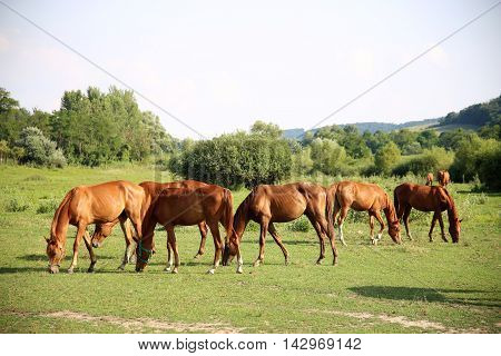 The herd of chestnut horses grazing on green meadow. Idyllic scenery with thoroughbred anglo-arabian grazing horses