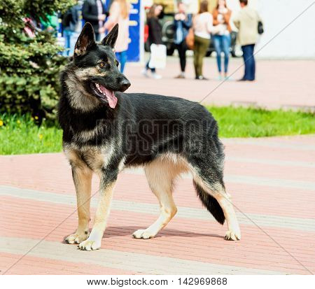 German shepherd black and white stands. The German shepherd is in the city park.