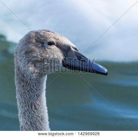 Young Swan On Lake Balaton